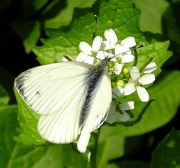 vlinder2[1]